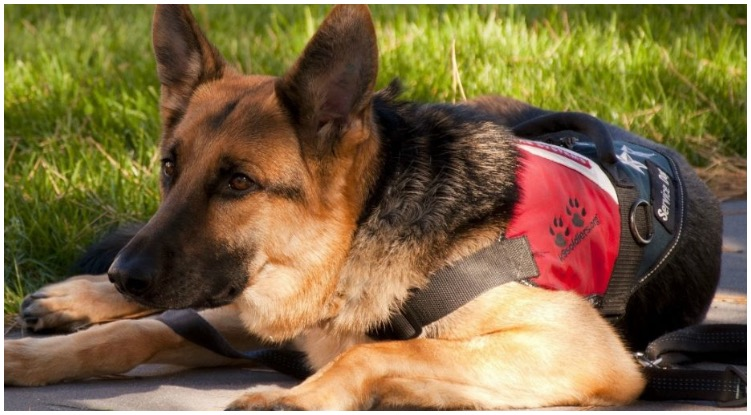 Dog owner wondering how to make his German Shepherd a GSD service dog