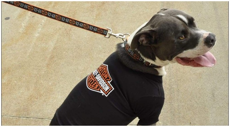 A fierce looking pitbull wearing the coolest Harley Davidson Dog Collar
