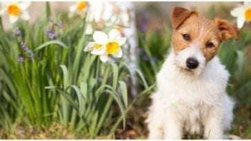 An adorable Jack Russel sitting in a field of flowers while his owner wonders about flower names for dogs