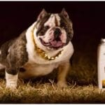 Bulldog standing next to a big gallon of liquid gold for dogs