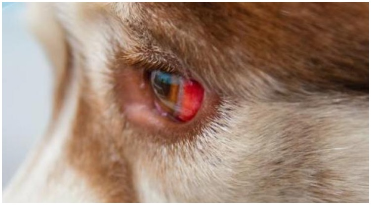 Terrified dog owner wondering why her dog's eye is red and Swollen