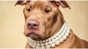 Cute pitbull wearing a fancy pearl dog collar