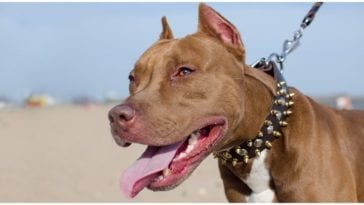 Dog owner trying out all the different types of pitbull dog collars