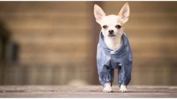 An adorable tiny dog wearing the cutest small dog clothes