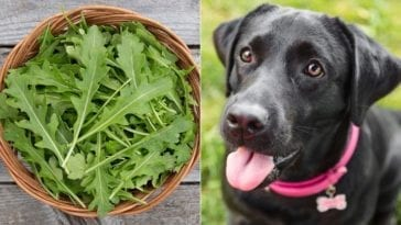 arugula and dog in order to answer can dogs eat arugula?