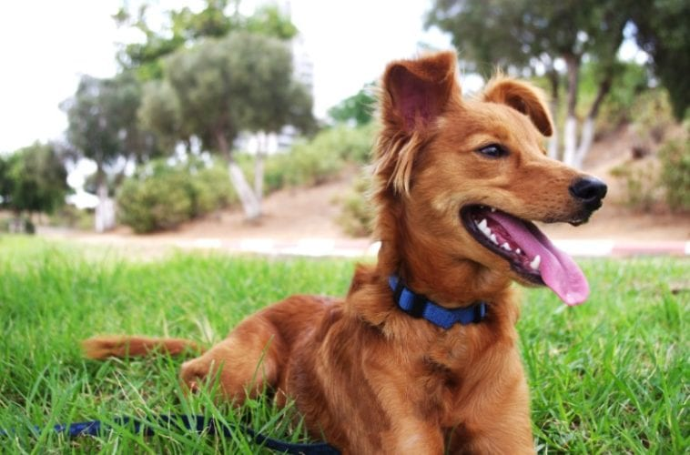 dog with collar on dog zip line