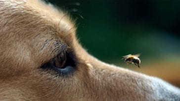 Dog Stung By A Bee