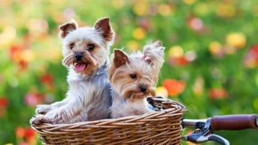 dogs riding in basket for bike