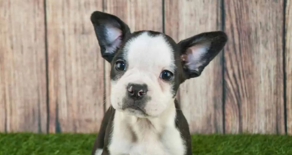 frenchton puppies picture
