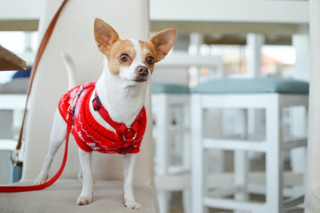 Chihuahua - dog with big eyes