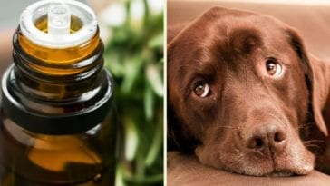 Tea tree oil and dogs