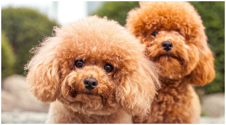Two absolutely adorable looking big curly hair dog