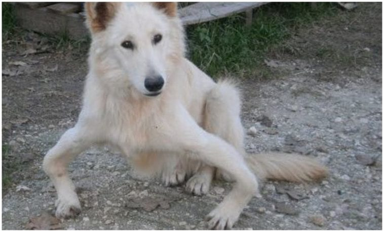 A white canine with a medical condition called bow legged dog