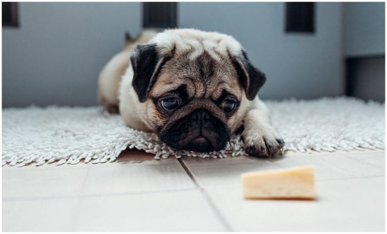 Pug looking at a piece of cake asking himself if dogs can eat cheesecake