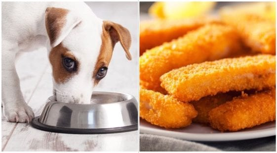An adorable dog eating from a bowl while his owner wonders can dogs eat fish sticks
