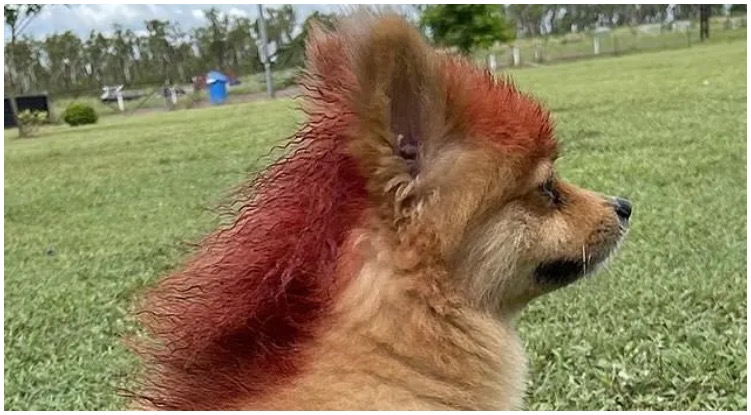 Funny looking dog with red mullet hairstyle