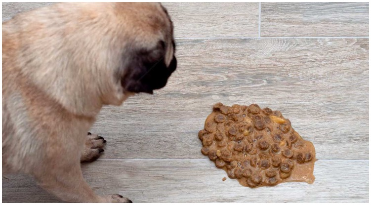 Dog vomiting on the floor while his owner wonders about dog vomit color guide