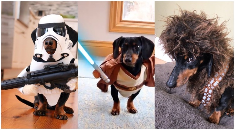 Three absolutely adorable pups playing with their star wars dog toys
