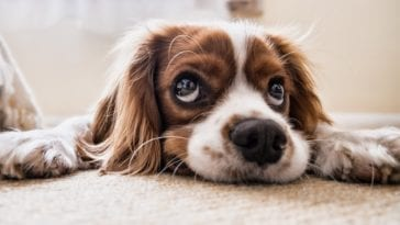 sad dog because of dog spay incision lump