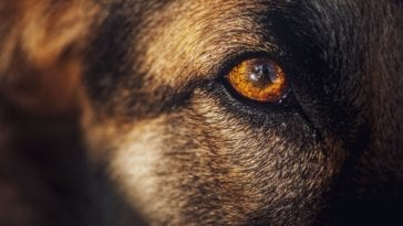 dog losing hair around eyes