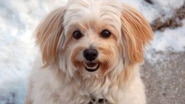 eskipoo dog
