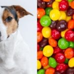can dogs eat skittles