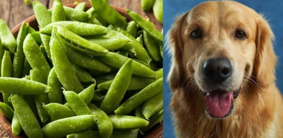 dog and sugar snap peas in order to answer can dogs eat sugar snap peas