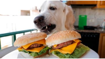Dog looking at the two hamburgers on a plate in front of him while his owner wonders can dogs eat hamburger