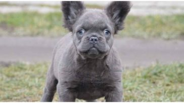 An adorable fluffy French Bulldog standing in the dog park