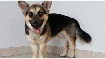 The most adorable German Shepherd Corgi mix dog smiling at the camera