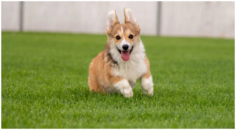 Adorable corgi puppy running through grass field making us wonder how much are corgi puppies