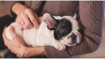 Dog owner holding her French Bulldog puppy in her arms wondering is it normal for puppies to breathe fast