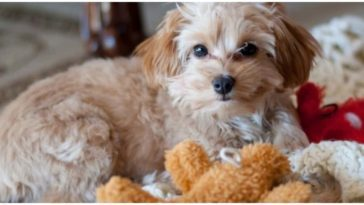 The most adorable Maltese Chihuahua Mix dog laying on the floor