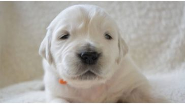 Adorable puppy finally seeing as his owner was already worrying when do newborn puppies open their eyes