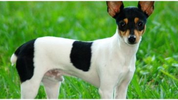Rat Terrier Chihuahua Mix Dog Standing on grass field