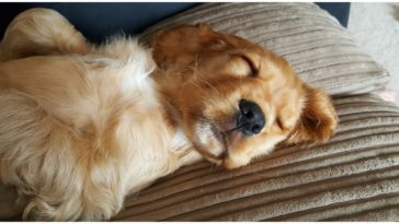Adorable Golden Retriever puppy sleeps on couch while his owner wonders should I wake up my puppy to pee at night
