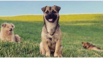 The Hug Dog In All it's glory: Husky Pug Mix sitting on a grass field