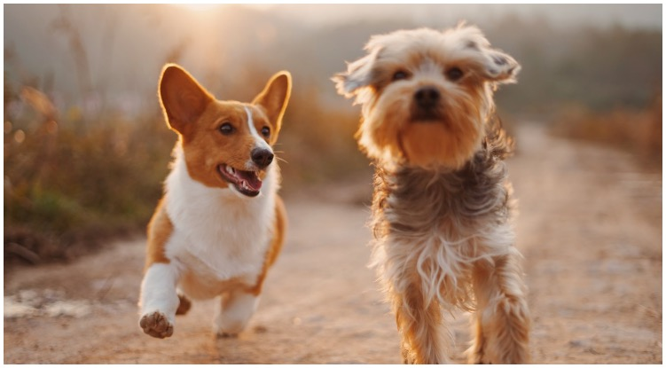 Two adorable dogs running through a field while one of their owners wonders how to train your dog to ignore other dogs