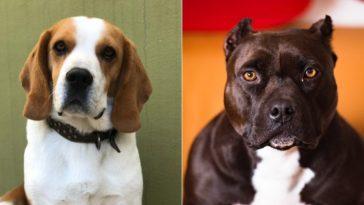 pitbull beagle mix