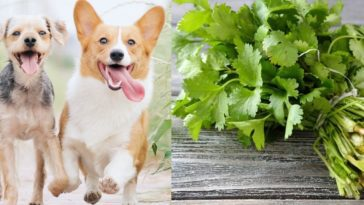 is cilantro bad for dogs