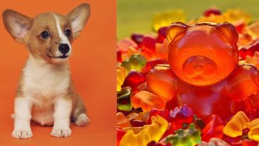 Can dogs have gummy bears