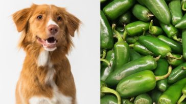 Can dogs have jalapenos