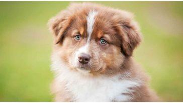 An adorable Australian German Shepherd with bright blue eyes