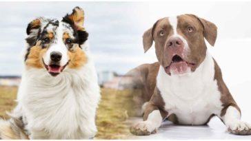 The Australian Shepherd Pitbull Mix is a crossbreed between two dog breeds