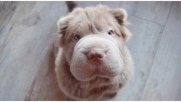 The Bear Coat Shar Pei might be the most unique dog breed that's out there
