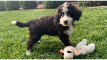 An adorable Bernese Mountain dog poodle mix dog with a teddy bear