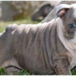A chubby blue english bulldog enjoying the sunny weather