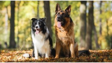 The Border Collie German Shepherd Mix is a crossbreed between two amazing parent breeds
