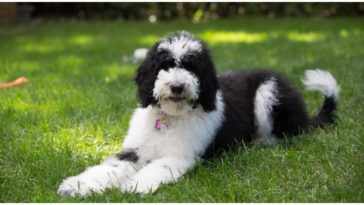 An absolutely adorable Bordoodle sitting on the grass