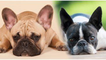 Two incredibly similar dog breeds: The Boston Terrier vs French Bulldog